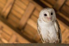 Barn owl sitting on a beam stock photo