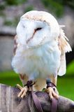 Barn owl sitting on falconer glove Stock Image