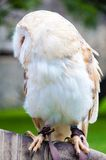 Barn owl sitting on falconer glove Stock Images