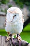 Barn owl sitting on falconer glove Royalty Free Stock Images