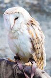 Barn owl sitting on falconer glove Royalty Free Stock Photo