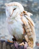 Barn owl sitting on falconer glove Royalty Free Stock Photography
