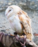Barn owl sitting on falconer glove Royalty Free Stock Image