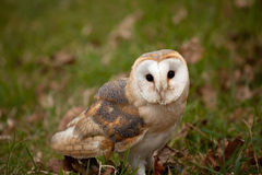 Barn Owl sitting in grass Royalty Free Stock Photos