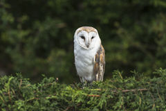 Barn Owl. Sitting on the hedge Stock Photography