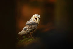Barn owl sitting on stone in dark forest Royalty Free Stock Images