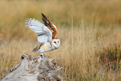 Barn owl sitting on a stump Royalty Free Stock Images