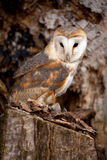 Barn Owl sitting in tree Stock Images