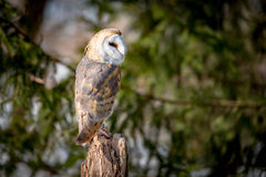 Barn Owl. Sitting on a tree Royalty Free Stock Photo