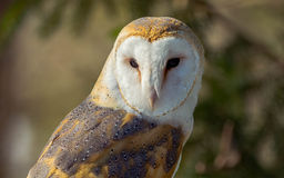 Barn Owl. Sitting on a tree Royalty Free Stock Images