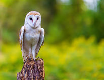 Barn Owl. Sitting on a tree stock photos