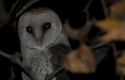 Barn Owl tyto alba sitting in tree. Barn Owl sitting in tree at night. Location Estosha national park royalty free stock image