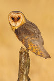 Barn owl sitting on tree stump at the evening with nice light and clear background Royalty Free Stock Images