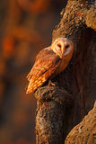 Barn owl sitting on tree trunk at the evening with nice light near the nest hole Royalty Free Stock Photography