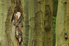 Barn owl sitting on tree trunk at the evening with nice light near the nest hole. Wildlife scene from nature. Animal behaviour in. Barn owl sitting on tree trunk Royalty Free Stock Photos