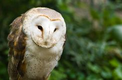 Barn owl sitting and watching - horizontal Royalty Free Stock Images