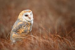 Barn Owl - Tyto alba. Barn Owl sitting in the winter field Royalty Free Stock Images