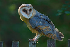 Barn owl sitting on wooden fence with dark green background, bird in habitat, Czech republic, Central Europe Stock Image
