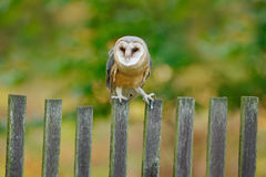 Barn owl sitting on wooden pale fence with green background. Wild bird in habitat, Czech republic, Central Europe. Fence with anim Royalty Free Stock Image