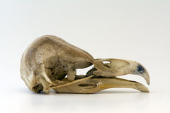 Barn Owl Skull Stock Photography