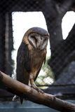 A Barn Owl Royalty Free Stock Images