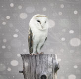 Barn Owl with snow Royalty Free Stock Images