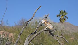 Barn Owl-Sonoran Desert. A barn owl is perched on a dead limb on a clear day in the Sonoran Desert of Arizona Stock Photos