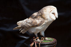 Barn Owl on stand Stock Photography