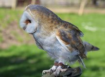 A barn owl. Standing on a branch Royalty Free Stock Photo