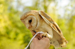 Barn owl standing on the human hands Royalty Free Stock Image