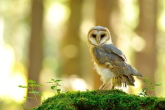 Barn owl standing on the moss Royalty Free Stock Photo