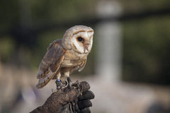 Barn Owl. Standing Barn Owl, tethered and perched on its trainer's gloved hand Stock Image