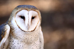 Barn Owl - Stare Down Royalty Free Stock Photography