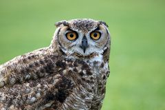 Horned Owl staring. Horned Owl with eyes staring at you Royalty Free Stock Image