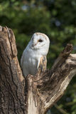 Barn owl. Staring from a tree stump Royalty Free Stock Photography