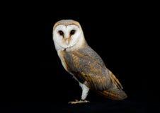 Barn Owl. Studio portrait (Tyto Alba Royalty Free Stock Image