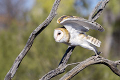 Barn Owl taking off Stock Images