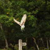 Barn Owl taking off from a bridal path post stock image