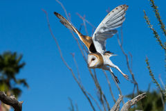 Barn owl taking off in flight Royalty Free Stock Images