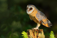Barn owl, Tito alba, nice bird sitting on stone fence in forest cemetery with green fern, nice blurred light green the background, Stock Photography