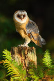 Barn owl, Tito alba, nice bird sitting on stone fence in forest cemetery with green fern, nice blurred light green the background, Stock Photo