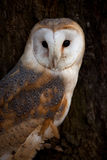 Barn Owl in tree Stock Photos