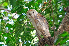 Barn owl on a tree. Barn owl sitting on a tree in Venezuela Royalty Free Stock Photos
