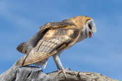 Barn Owl on Tree Branch Royalty Free Stock Photography
