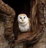 Barn owl in tree hollow. A Barn Owl perched the hollow of a tree in the new forest uk Stock Images