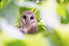 Barn Owl in tree Stock Images