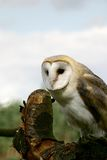 Barn owl upon a tree stump royalty free stock photography