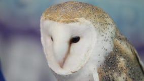 Barn owl turning head. And talking stock footage