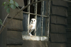 Barn Owl - Tyto alba. Barn Owl perched in broken shed window Royalty Free Stock Photo