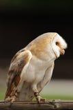 Barn Owl (Tyto alba). Sitting on a fence Stock Image